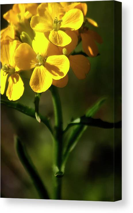 Wildflowers Canvas Print featuring the photograph Rough Wallflower - 60618-122 by Albert Seger