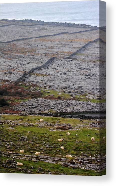 Sheep Canvas Print featuring the photograph Sheep In The Burren Ireland by Pierre Leclerc Photography