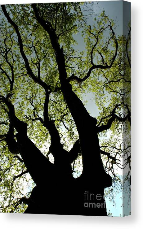 Ardeche Canvas Print featuring the photograph Silhouette Of A Tree Trunk With New Growth In Springtime by Sami Sarkis