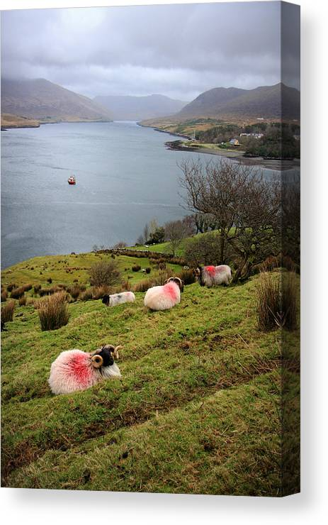 Sheep Canvas Print featuring the photograph Spray Painted Sheep Ireland by Pierre Leclerc Photography