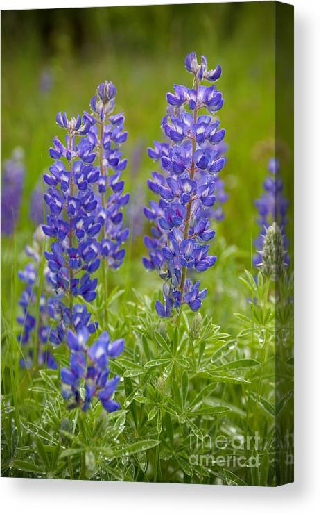 Lupine Canvas Print featuring the photograph Spring Lupine by Idaho Scenic Images Linda Lantzy
