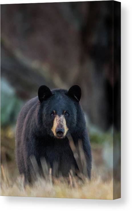Bear Canvas Print featuring the photograph Standoff by Bill Wakeley