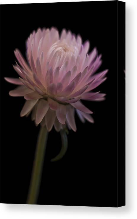 Straw Flower Canvas Print featuring the photograph Straw Flower by Sandra Foster