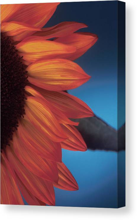 Sunflower Canvas Print featuring the photograph Sunflower Study by Bob Coates