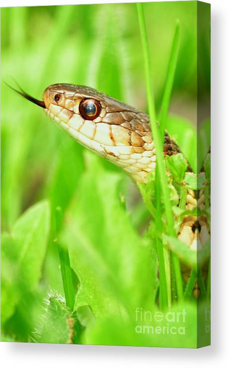 Garter Snake Canvas Print featuring the photograph Tasting The Air by Gaby Swanson