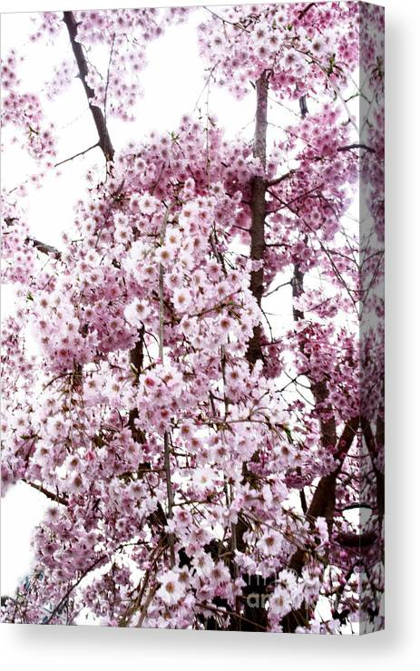 Tree Canvas Print featuring the photograph Tree Flowering In Spring by Robin Lynne Schwind