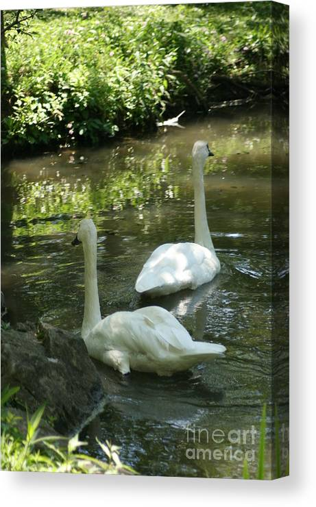 Water Canvas Print featuring the photograph Trumpeter Swans by Dawn Downour