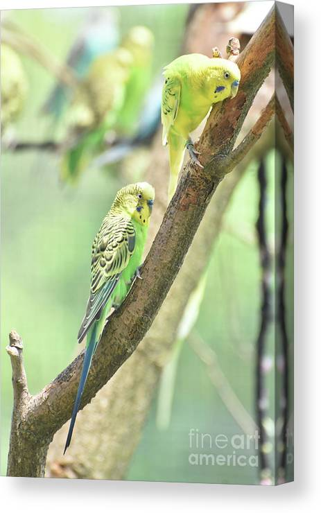 Budgie Canvas Print featuring the photograph Two Adorable Budgie Parakeets Living In Nature by DejaVu Designs