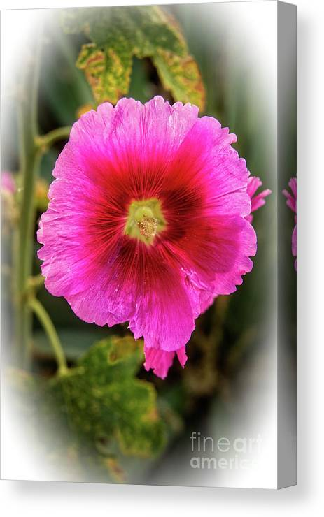 Alcea Rosea Canvas Print featuring the photograph Vigenetted Hollyhock by Robert Bales