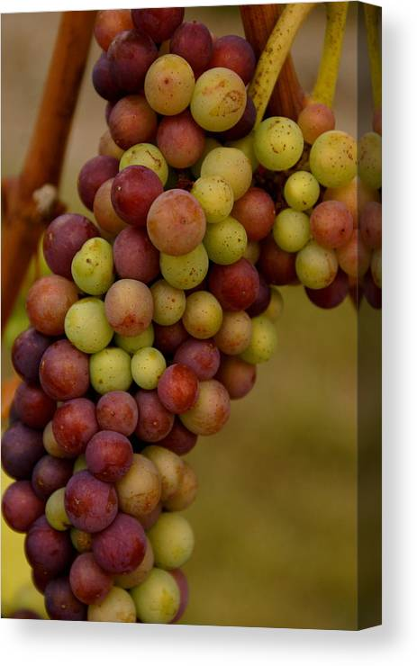Winery Canvas Print featuring the photograph Vineyard Grapes by Sonja Anderson