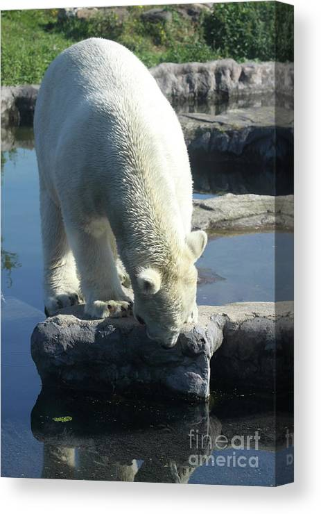 Ice Bear Canvas Print featuring the photograph Where Is It by Christiane Schulze Art And Photography