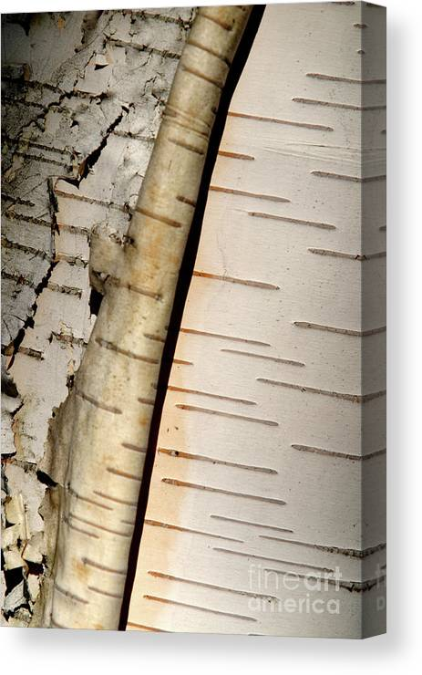 Birch Canvas Print featuring the photograph White Paper Birch Tree Bark by Alan Look