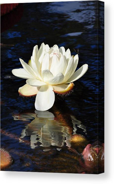 Floral Canvas Print featuring the photograph White Water Lily by Andrea Everhard