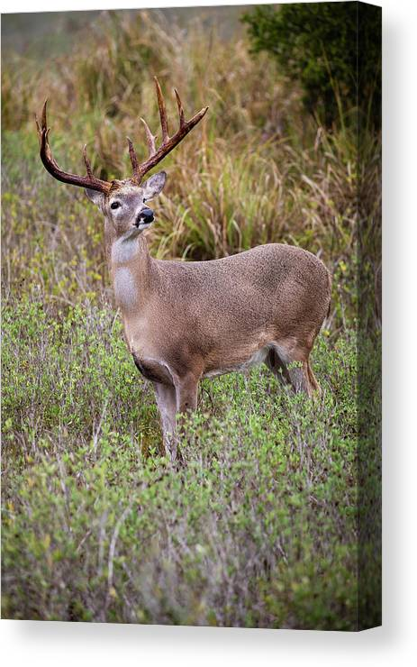Baby Animal Canvas Print featuring the photograph White-tailed Deer (odocoileus by Larry Ditto