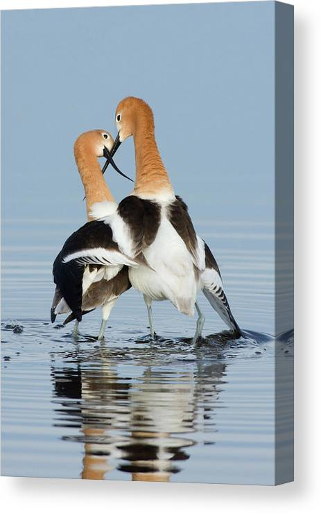 American Avocet Canvas Print featuring the photograph American Avocets, Courtship Dance by Ken Archer