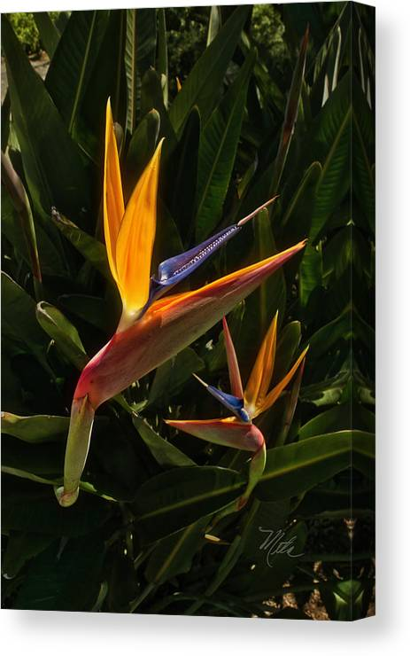 Bird Of Paradise Canvas Print featuring the photograph Bird Of Paradise by Meta Gatschenberger