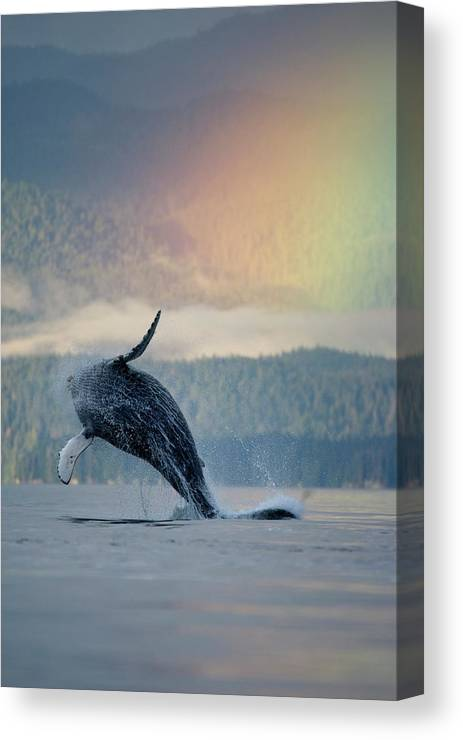 Animal Themes Canvas Print featuring the photograph Breaching Humpback Whale And Rainbow by Paul Souders