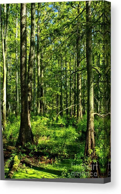Cypress Grove Canvas Print featuring the photograph Cypress Trees by Kathy McClure