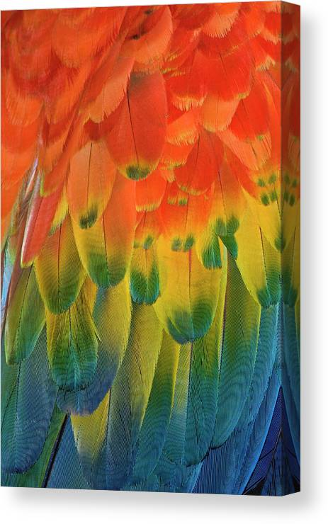 Macaw Canvas Print featuring the photograph Feather Pattern, Scarlet Macaw by Adam Jones