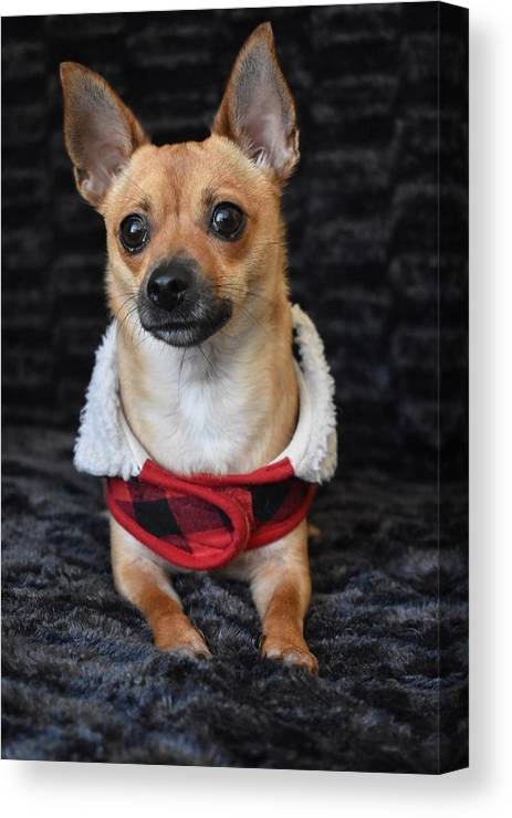 Chihuahua Canvas Print featuring the digital art Miracle by Cassidy Marshall