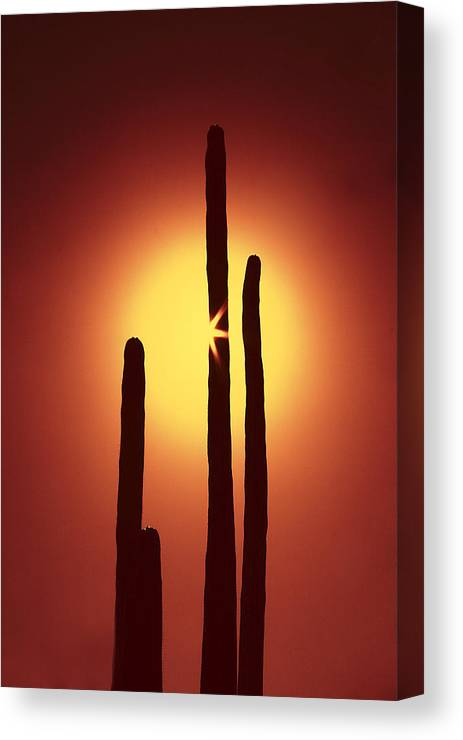 Sun Canvas Print featuring the photograph Encinitas Cactus by Andre Aleksis