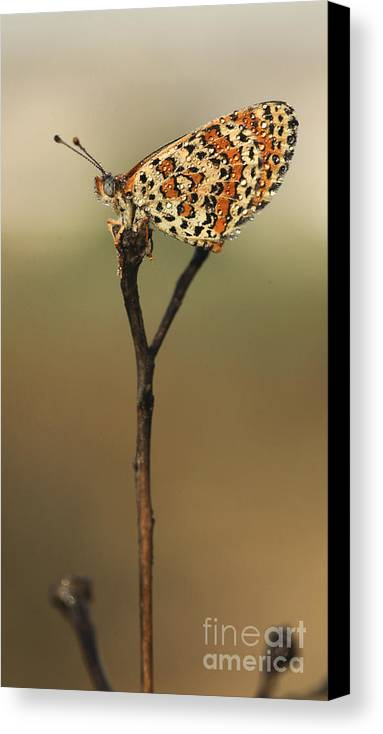 Butterfly Canvas Print featuring the photograph Lesser Spotted Fritillary by Alon Meir