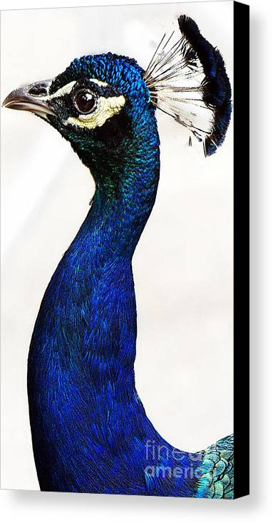 Peacock Portrait Canvas Print featuring the photograph Peacock II by Lilliana Mendez
