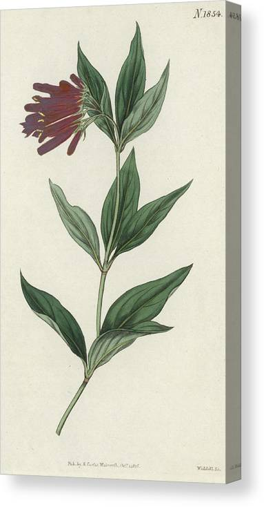 Botany Canvas Print featuring the painting Botanical Engraving by English School