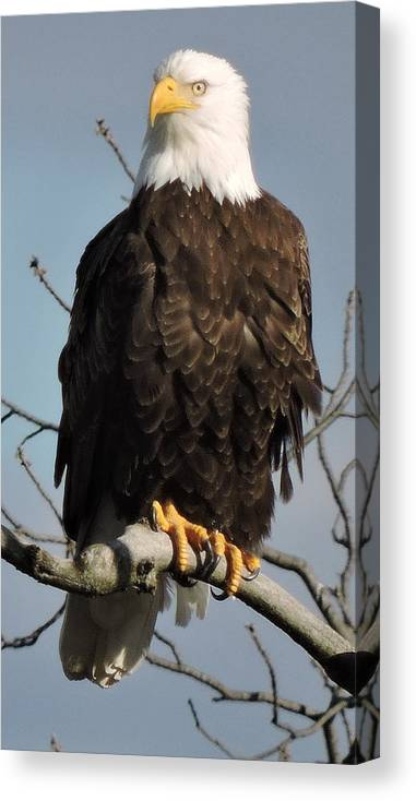Eagle Canvas Print featuring the photograph Bald Eagle Perched On Branch On A Windy Day by Joe Lee