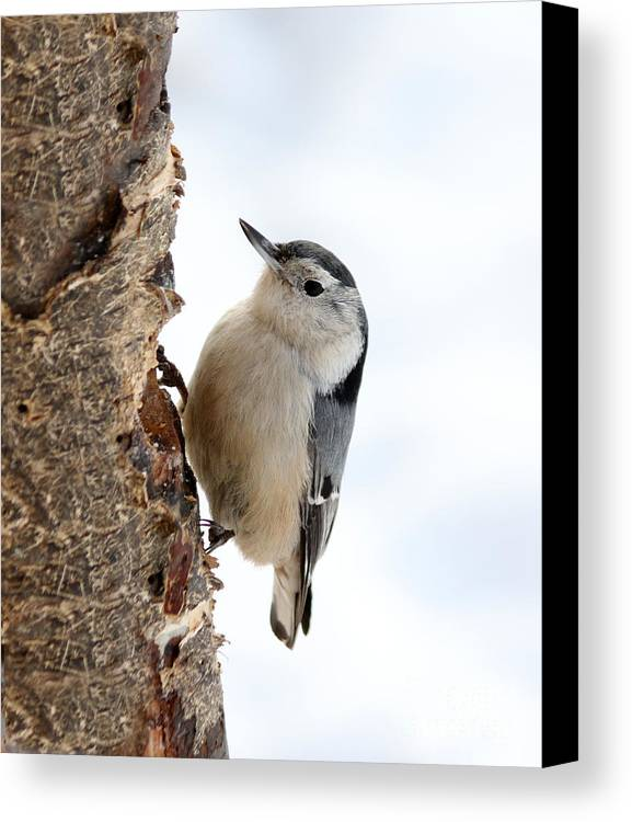 Trees Canvas Print featuring the photograph White-breasted Nuthatch by Lori Tordsen