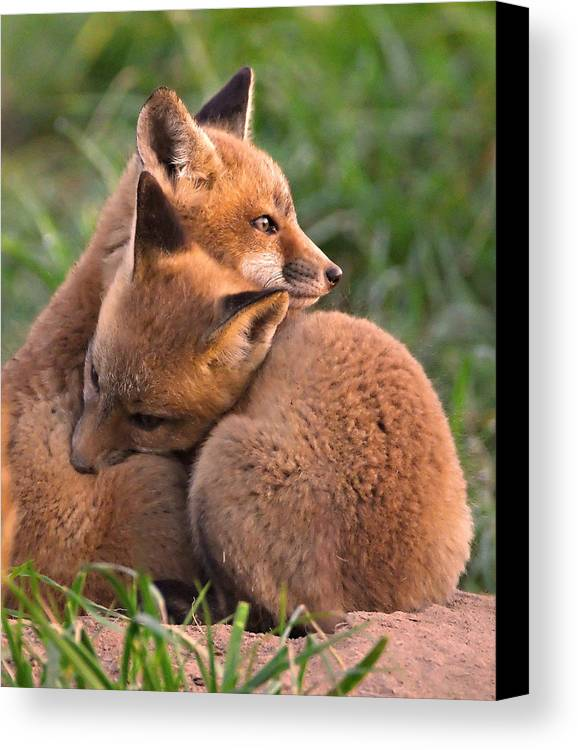 Fox Canvas Print featuring the photograph Fox Cubs Cuddle by William Jobes