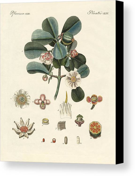 Bertuch Canvas Print featuring the drawing The Rose Coloured Clusia by Splendid Art Prints