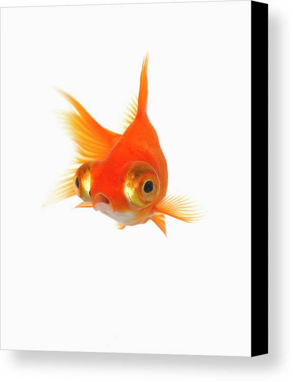 Vertical Canvas Print featuring the photograph Goldfish With Big Eyes by Don Farrall