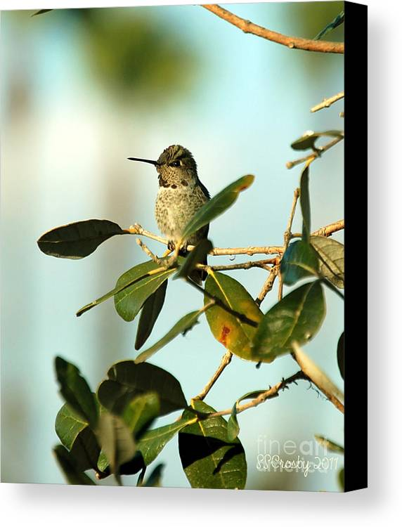 Anna's Hummingbird Canvas Print featuring the photograph A Quiet Moment by Susan Stevens Crosby