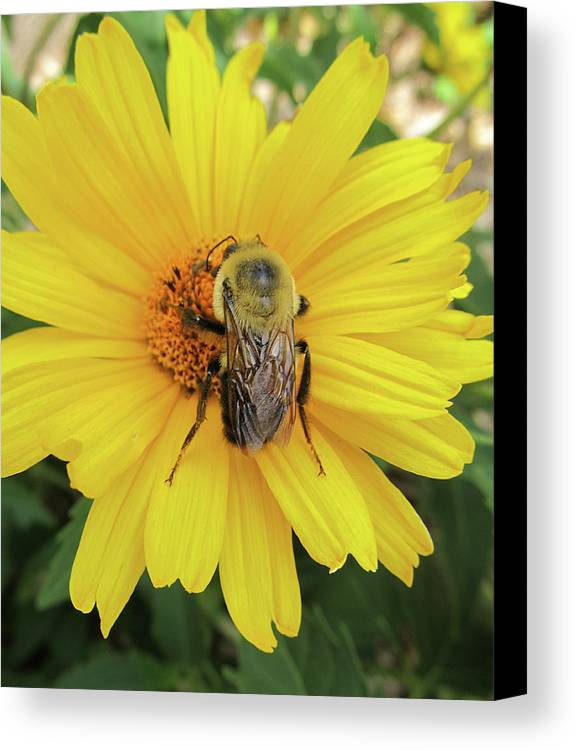 Flowers Canvas Print featuring the photograph Bee by Michele Caporaso