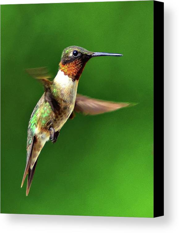 Vertical Canvas Print featuring the photograph Hummingbird In Mid-air by Jeff R Clow
