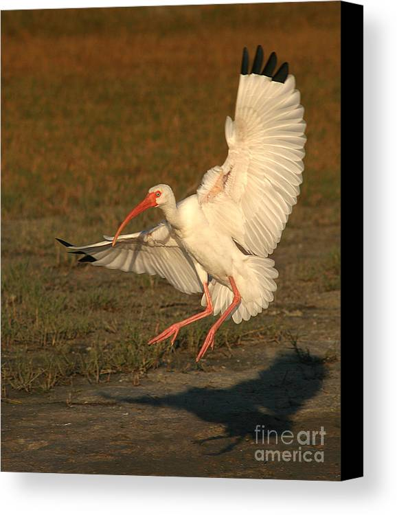 Ibis Canvas Print featuring the photograph White Ibis Landing Upon Ground by Max Allen