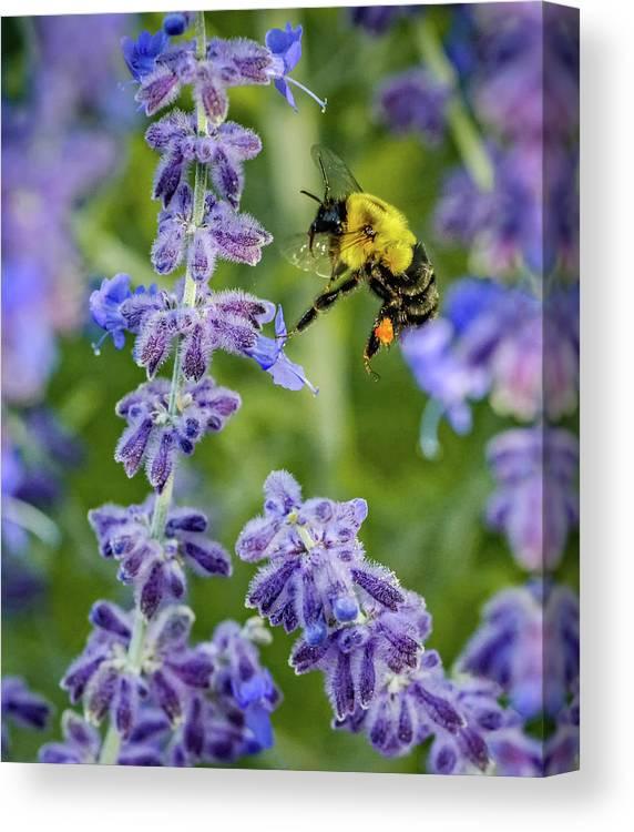 Steve Harrington Canvas Print featuring the photograph Flight Of The Bumble Bee by Steve Harrington