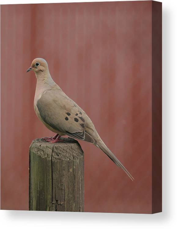 Mourning Dove Canvas Print featuring the photograph Mourning Dove Sitting Pretty by Tina B Hamilton