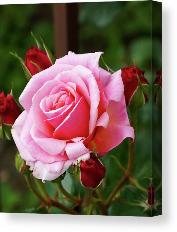 Pink Canvas Print featuring the photograph Rose Attendants by Cate Franklyn