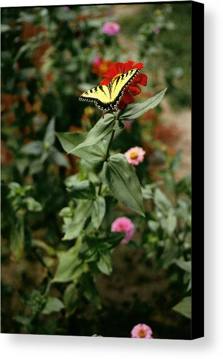 Butterfly Canvas Print featuring the photograph Kathy's Butterfly by Lynard Stroud