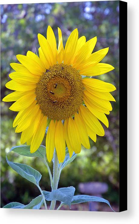 Sun .flower Canvas Print featuring the photograph Sunflower 1 by Mickie Boothroyd