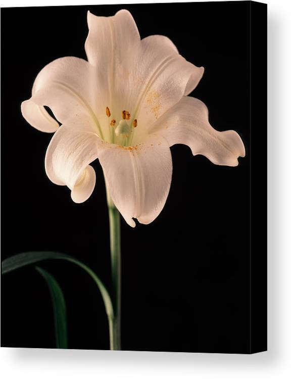 Flora Canvas Print featuring the photograph Easter Lily 3 by Joseph Gerges