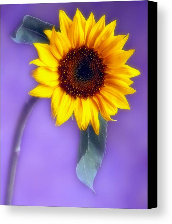 Flora Canvas Print featuring the photograph Sunflower 1 by Joseph Gerges