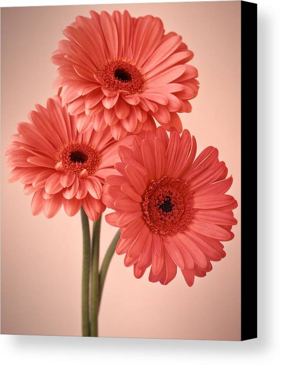 Flora Canvas Print featuring the photograph Three Gerberas 1 by Joseph Gerges
