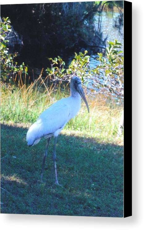 Lakes Park In Ft.myers Canvas Print featuring the photograph Wood Stork by Robert Floyd