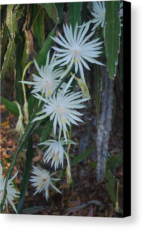 Night Blooming Canvas Print featuring the photograph Night Blooming Cactus by Robert Floyd