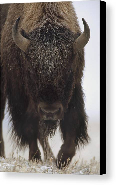 00172336 Canvas Print featuring the photograph American Bison Portrait by Tim Fitzharris