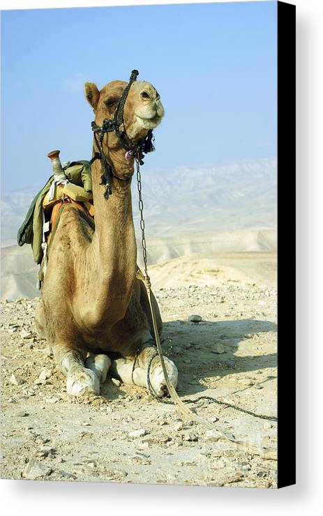 Camel Canvas Print featuring the photograph Closeup Of A Camel by Shay Fogelman
