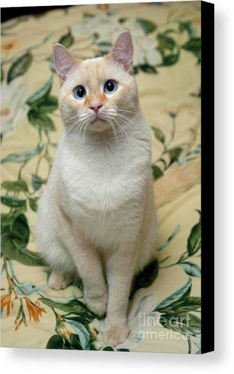 Blue Eyes Canvas Print featuring the photograph Flame Point Siamese Cat by Amy Cicconi
